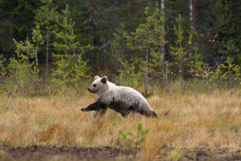 Finland, North Karelia, young brown bear in the woods - ZC00458