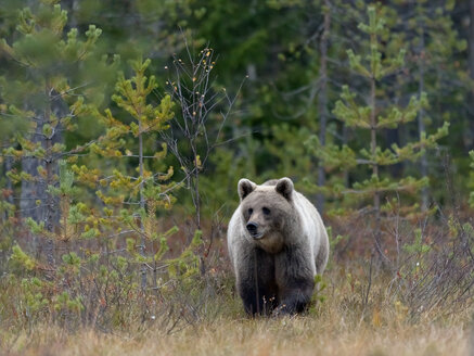 Finland, North Karelia, brown bear in the woods - ZC00461