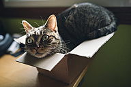 Tabby cat inside a small carboard box at home - RAEF01628
