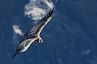 Peru, Andes, Chivay, Colca Canyon, Andean condor flying - FOF08484