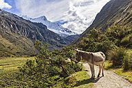 Peru, Andes, Cordillera Blanca, Huascaran National Park, mountain Nevado Chacraraju, donkey on trail - FOF08514