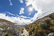 Peru, Andes, Cordillera Blanca, Huascaran National Park, Nevado Chacraraju, lupines - FOF08532