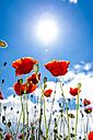 Corn poppies in sunlight - EGBF00152