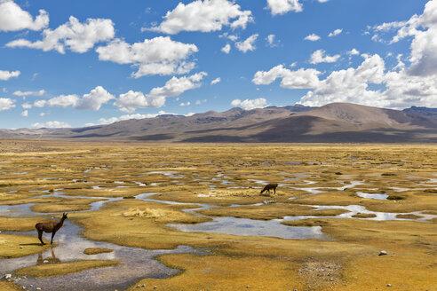 Peru, La Reserva Nacional Salinas y Aguada Blanca, llamas in swamp - FOF08639