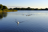 Germany, Usedom, Bansin, mute swans on Schloonsee - SIEF07257