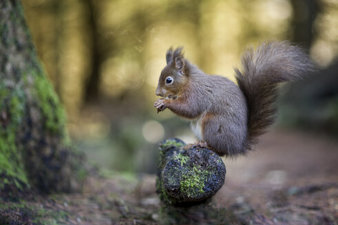 Portrait of eating red squirrel - MJOF01333