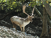 Italy, Silcily, Nature Park Madonie, portrait of fallow buck - HWOF00209