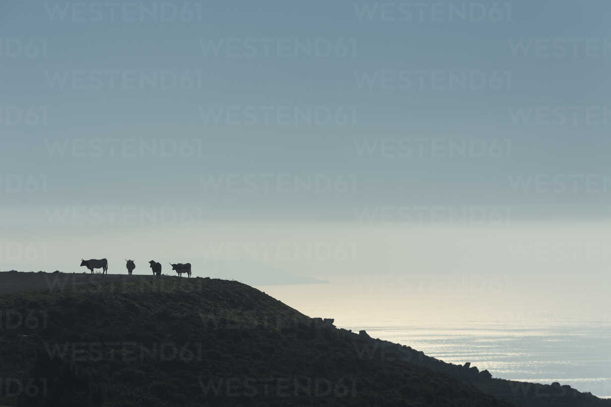 Spain, silhouettes of cows standing on pasture at twilight - KBF00355 - Sebastian Kanzler/Westend61