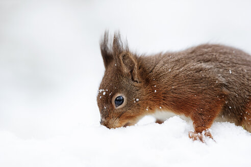 Portrait of seeking Eurasian red squirrel in snow - MJOF01342