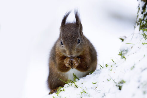Portrait of eating Eurasian red squirrel in snow - MJOF01345