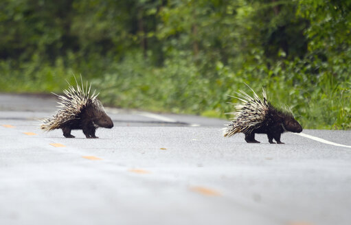 Thailand, Petchaburi Province, two Malayan porcupines crossing street - ZCF00465