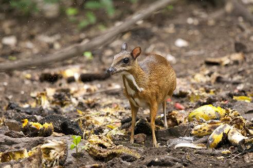 Thailand, Petchaburi Province, portrait of Java mouse deer - ZCF00468