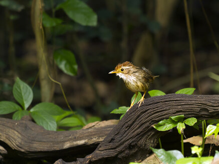 Thailand, Kaeng Krachan, Puff-throated babbler on branch - ZC00476