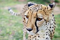 Namibia, Kamanjab, portrait of cheetah - GEMF01456