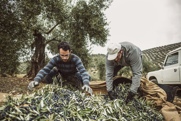 Spain, two men filling buckets with harvested black olives - JASF01484