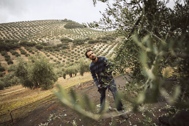 Spain, man using vibrator for olive harvest - JASF01490