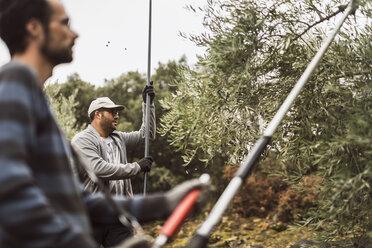 Spain, two men harvesting olives - JASF01502