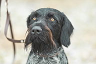 Portrait of German Wirehaired Pointer - ASCF00719