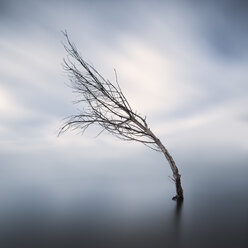 Bent bare tree standing in lake at wintertime - XCF00133