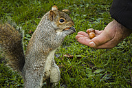 Man's hand offering hazelnuts to grey squirrel - NGF00376