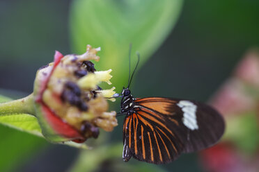 Peru, Manu National Park, tropical butterfly at blossom - FOF08777
