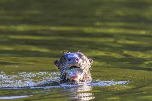 Peru, Manu National Park, Cocha Salvador, Giant otter with prey fish - FOF08780