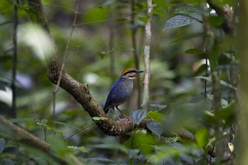 Thailand, Kaeng Krachan National Park, male blue pitta on branch - ZC00490