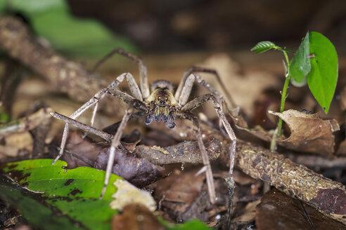 Peru, Manu National Park, wandering spider on twig - FOF08794