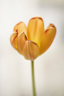 Orange tulip, close-up - SKAF00030