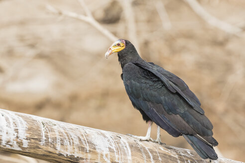 Peru, Manu National Park, Greater yellow-headed vulture standing on dead wood - FOF08804