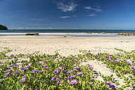 Myanmar, blossoms of beach morning glory on the beach of Ngwesaung - PCF00328