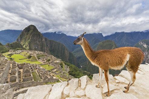 Peru, Andes, Urubamba Valley, llama at Machu Picchu with mountain Huayna Picchu - FOF08836