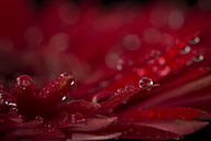 Waterdrops on petals of red Gerbera, close-up - MJOF01351