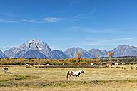 USA, Wyoming, Rocky Mountains, Grand Teton National Park, Mustangs - FOF08864