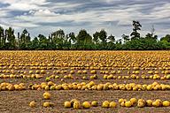 Slovenia, Bovec, Styrian oil pumpkin field - CSTF01251