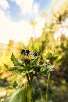 Three bumblebees on blossom of thistle - CSTF01254