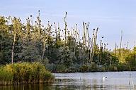 Germany, Usedom, Pudagla, flock of cormorants on dead trees at Schmollensee - SIEF07303