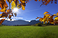 Germany, Allgaeu, meadow and autumn leaves at backlight - FDF00223