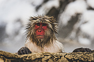 Japan, Yamanouchi, Jigokudani Monkey Park, portrait of wet red-faced makak - KEBF00494