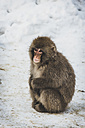 Japan, Yamanouchi, Jigokudani Monkey Park, red-faced makak sitting on snow - KEBF00497