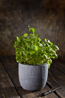 Indian lettuce in a pot and an old knife on dark wood - CSF27873