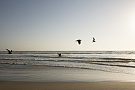 USA, California, Pismo Beach, silhouettes of four flying seagulls - LMF00689
