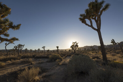 USA, California, Joshua Tree National Park, Joshua trees in desert - LMF00716