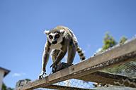 Madagascar, portrait of lemur - FLKF00719