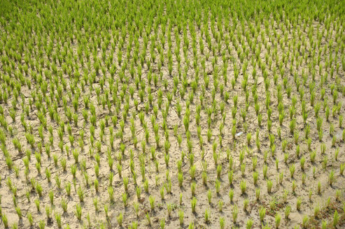 Madagascar, Bevato, rice field - FLKF00735