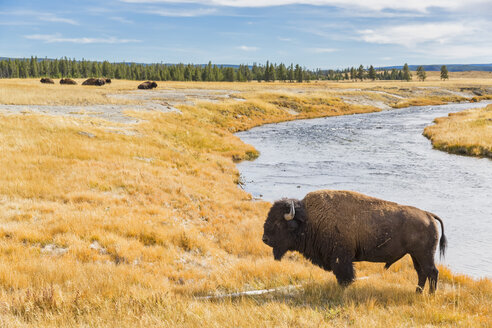 USA, Wyoming, Yellowstone National Park, American Bison at Firehole River - FOF08929