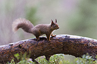 Red squirrel on tree trunk - MJOF01353