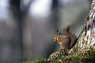 Red squirrel eating - MJOF01356