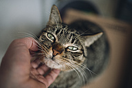 Hand of man stroking tabby cat - RAEF01767