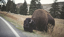 USA, Yellowstone National Park, Bison grazing at roadside - EPF00380